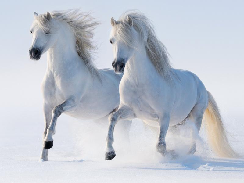 2_horses-wallpaper-800x600