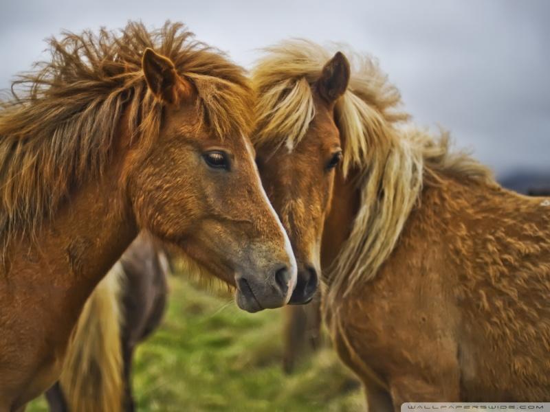 beautiful_horses-wallpaper-800x600