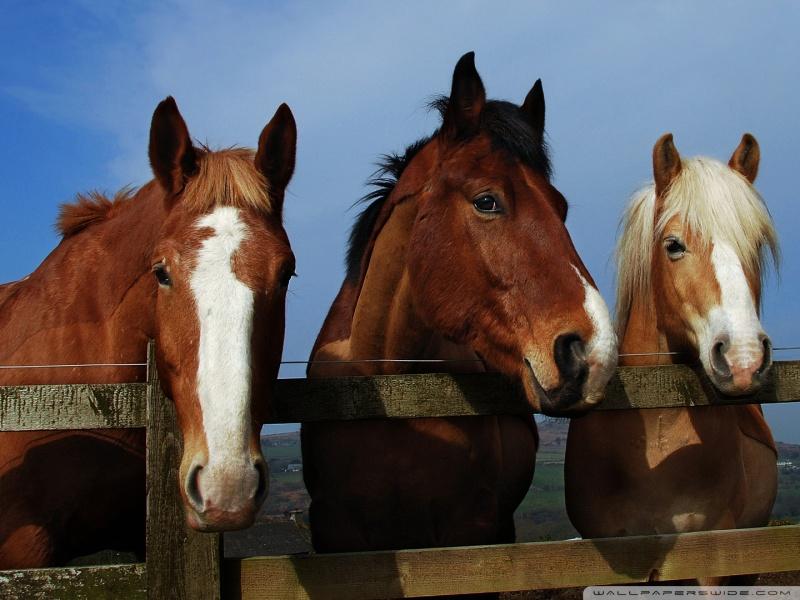 horse_11-wallpaper-800x600