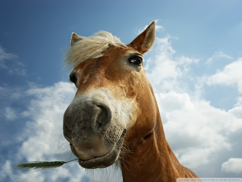horse_on_pasture-wallpaper-800x600