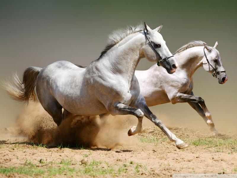 horses-wallpaper-800x600