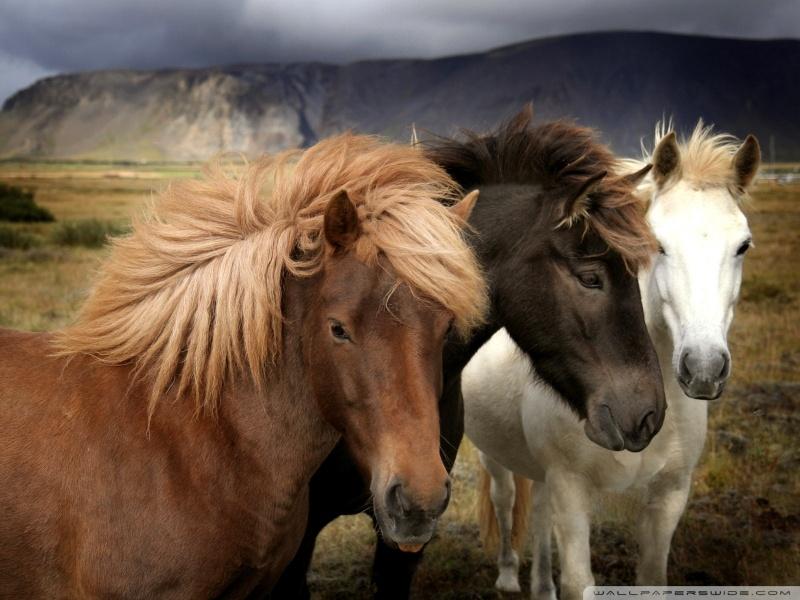 horses_5-wallpaper-800x600