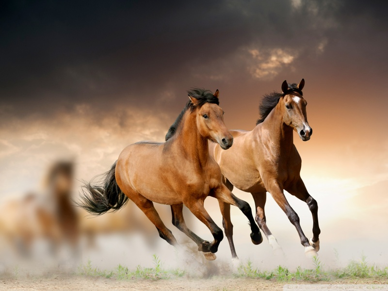 horses_running_2-wallpaper-800x600