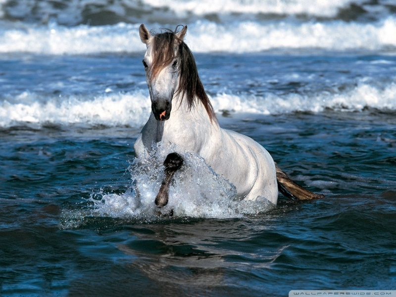 white_horse_running_in_water-wallpaper-800x600