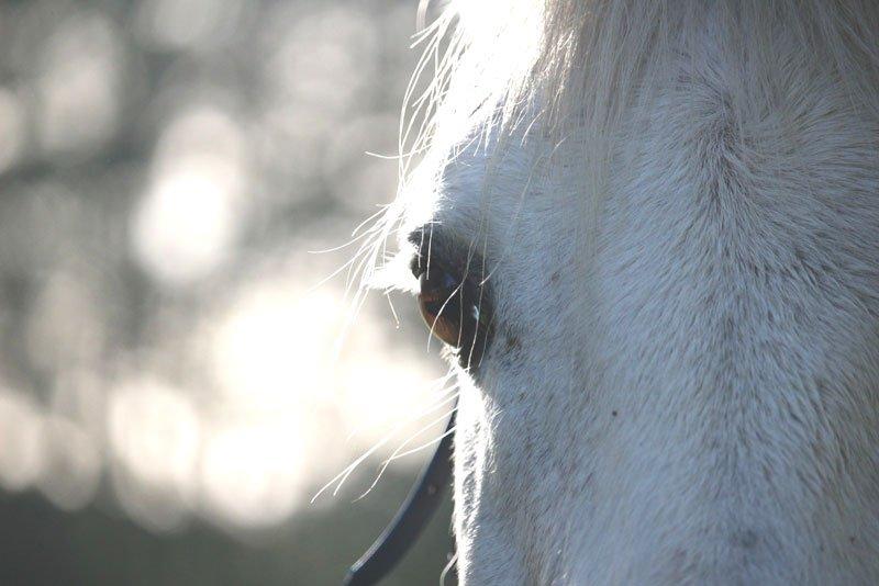 Die Augen des Pferdes – wie sieht ein Pferd seine Umwelt…?