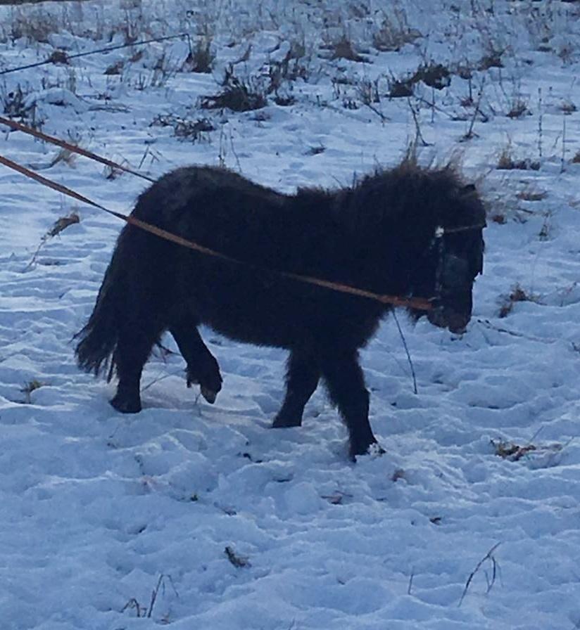 Mein Shetty Nicht Nur Ein Rasenmäher Pferdewiese