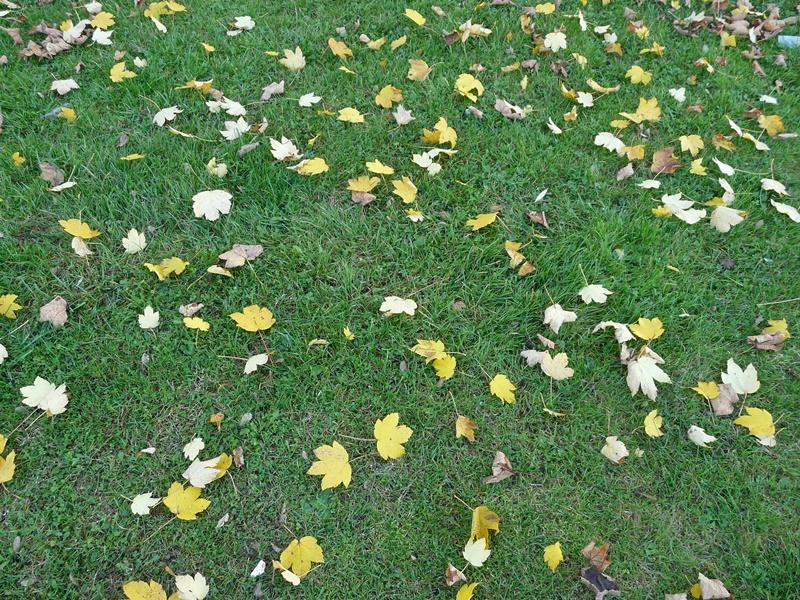 Achtung atypische Weidemyopathie. Ahorn Blätter auf einer Weide.