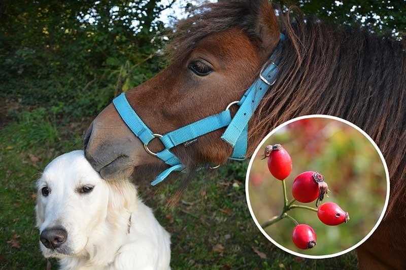 Hagebutten für Pferd & Hunde: Eine wahre Vitaminbombe
