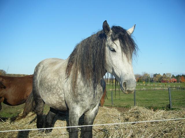 """""""Curly-Horse"""" das Allergiker-Pferd"""