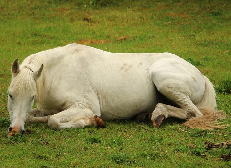 Der Schlaf der Gerechten – wie Pferde schlafen!
